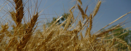 Wheat field in Bihar