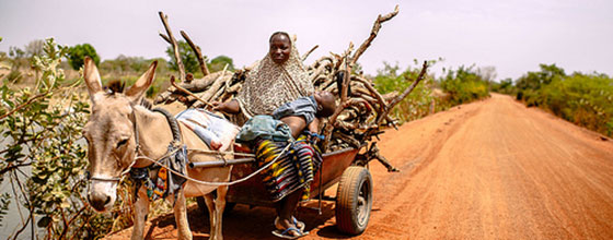A woman drives a donkey cart loaded with firewood back to the Zorro village, Burkina Faso.